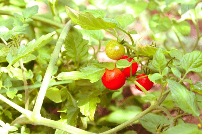 Tomatos_2